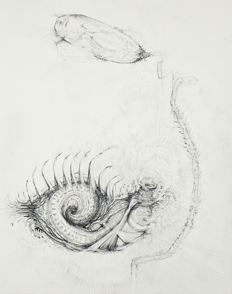 Brachiopod (drawing), 2010 pencil on paper 16 x 12 inches