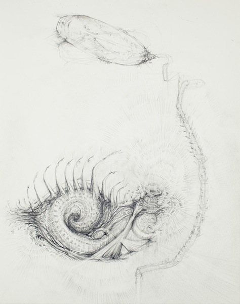 Brachiopod, 2010 pencil on paper 13 1/2 x 10 inches